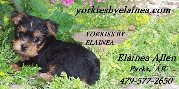 Yorkies by Elainea