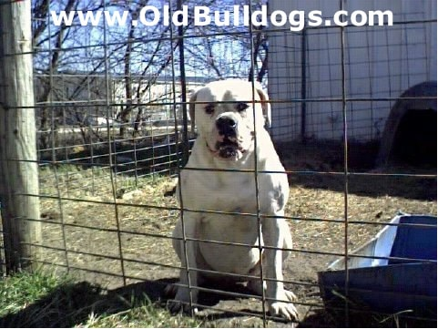 Old Red English Bulldogs Kennel Inc